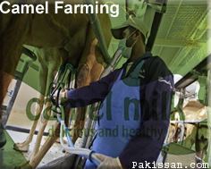 Milk Production Camel Farming :-Pakissan.com
